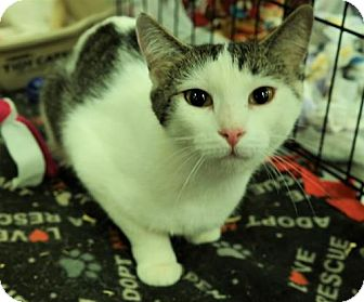 Domestic Shorthair Cat for adoption in O'Fallon, Missouri - Dakota