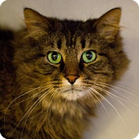Adopt A Pet :: Comet Claws - Grayslake, IL