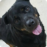 Rottweiler Dog for adoption in Hillsboro, New Hampshire - Sienna
