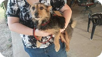 Yorkie, Yorkshire Terrier/Terrier (Unknown Type, Medium) Mix Dog for adoption in Ruston, Louisiana - Piper