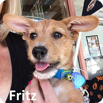 Terrier (Unknown Type, Small) Mix Puppy for adoption in Lake Forest, California - Fritz