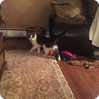 Domestic Mediumhair Cat for adoption in Lima, Pennsylvania - Cody