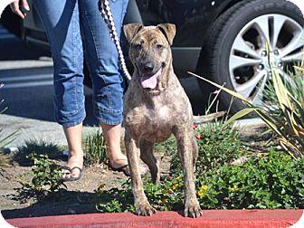 Shar Pei/Labrador Retriever Mix Dog for adoption in Downey, California - Blossom