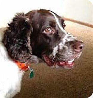 English Springer Spaniel Dog for adoption in Minneapolis, Minnesota - AJ