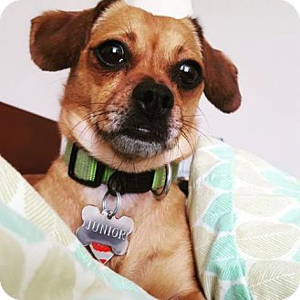 Chihuahua/Dachshund Mix Dog for adoption in Columbia, Maryland - Junior