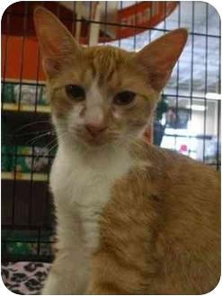 Domestic Shorthair Kitten for adoption in Orlando, Florida - Bruce