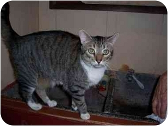 Domestic Shorthair Cat for adoption in North Plainfield, New Jersey - Popcorn