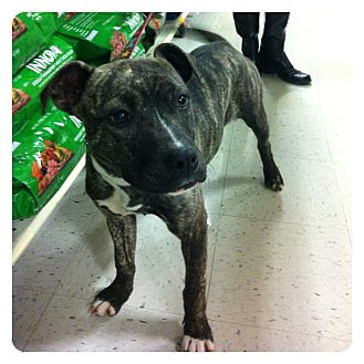 American Pit Bull Terrier/Staffordshire Bull Terrier Mix Puppy for adoption in Louisville, Kentucky - Kitty