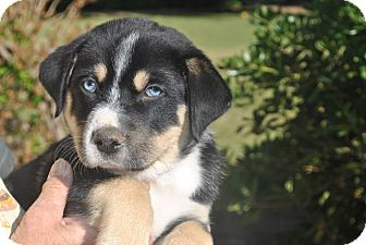Australian Shepherd/German Shepherd Dog Mix Puppy for adoption in Phoenix, Arizona - Blue