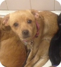 Italian Greyhound/Labrador Retriever Mix Puppy for adoption in Oak Ridge, New Jersey - Jelly Bean