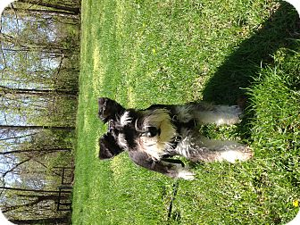 Miniature Schnauzer Dog for adoption in Centerpoint, Indiana - Maggie