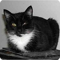 Domestic Mediumhair Cat for adoption in Chattanooga, Tennessee - Tessa