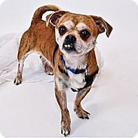 Adopt A Pet :: Beans - Hamilton, ON