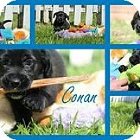 Adopt A Pet :: Conan - Austin, TX