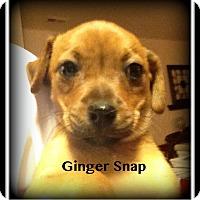 Adopt A Pet :: Gingersnap - Indian Trail, NC