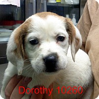 Adopt A Pet :: Dorothy - baltimore, MD
