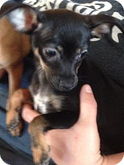 Cairn Terrier/Chihuahua Mix Dog for adoption in The Woodlands, Texas - Pepper Milly