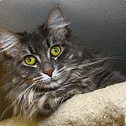 Photo 1 - Domestic Longhair Cat for adoption in Lombard, Illinois - Gabby