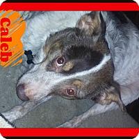 Adopt A Pet :: Caleb - Georgetown, KY