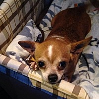 Chihuahua/Pug Mix Dog for adoption in Southeastern, Pennsylvania - Bettina