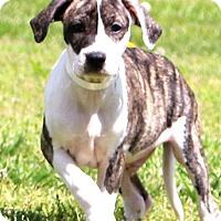 Adopt A Pet :: Lynx - Glastonbury, CT