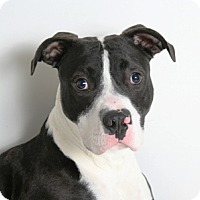 Adopt A Pet :: Comet - Redding, CA