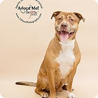 Adopt A Pet :: Tank Brown - Apache Junction, AZ