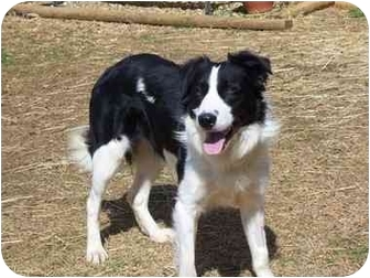 Border Collie Dog for adoption in Greeneville, Tennessee - Rocky