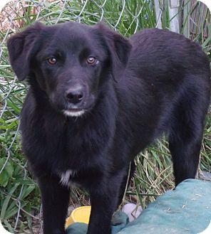 Border Collie/Labrador Retriever Mix Dog for adoption in Somerset, Kentucky - Milo
