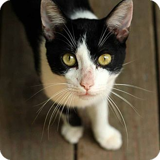 Domestic Shorthair Cat for adoption in McCormick, South Carolina - Billy