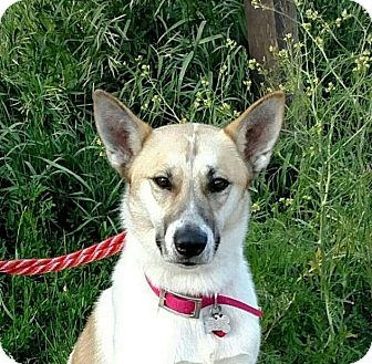Shepherd (Unknown Type)/Husky Mix Dog for adoption in Enfield, Connecticut - Becca
