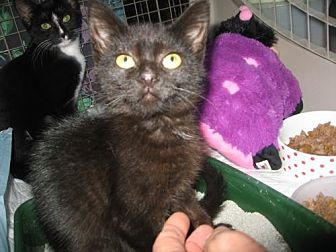 Domestic Shorthair Kitten for adoption in Trexlertown, Pennsylvania - Sprout*