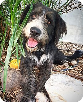 Bearded Collie Mix Dog for adoption in Fredericksburg, Texas - Cody