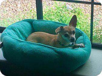 Chihuahua Mix Dog for adoption in Glendale, Arizona - Dojo