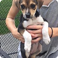 Adopt A Pet :: Bugsy - Harrison, NY