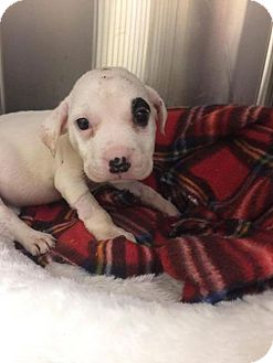 American Staffordshire Terrier Mix Puppy for adoption in Whitestone, New York - Penny