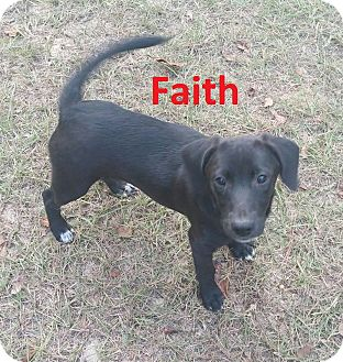 Labrador Retriever/Hound (Unknown Type) Mix Puppy for adoption in Augusta, Maine - Faith