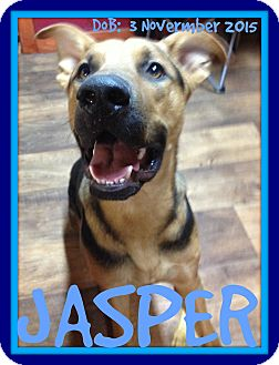 German Shepherd Dog Mix Dog for adoption in Mount Royal, Quebec - JASPER