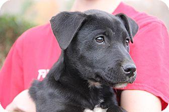 Labrador Retriever/Terrier (Unknown Type, Medium) Mix Puppy for adoption in Pittsboro, North Carolina - Jaelo