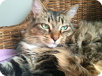 Maine Coon Cat for adoption in Sherman Oaks, California - Zoe