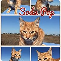 Adopt A Pet :: Soda Pop - Ravenna, TX