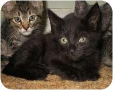Domestic Shorthair Kitten for adoption in Shelton, Washington - Ebony
