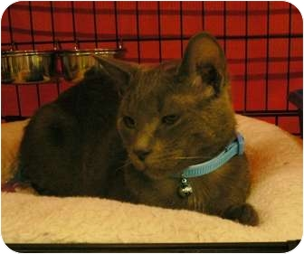 Russian Blue Kitten for adoption in Brea, California - Dusty