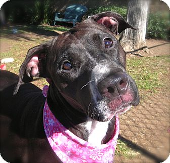 Boxer/Pit Bull Terrier Mix Dog for adoption in El Cajon, California - Susie