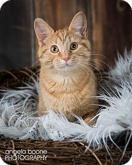 Domestic Shorthair Kitten for adoption in Eagan, Minnesota - Bartholomew