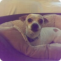 Adopt A Pet :: ROCKO - Chicagoland area, IL