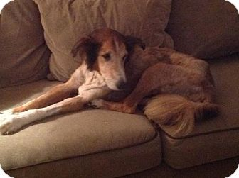 Collie Dog for adoption in Stafford, Texas - Trina