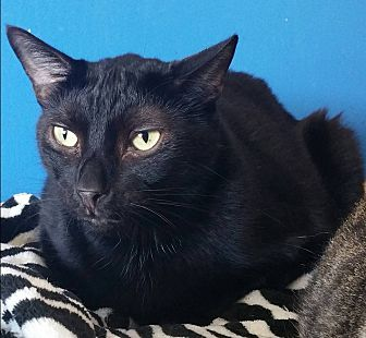 American Shorthair Cat for adoption in Los Angeles, California - Midnight