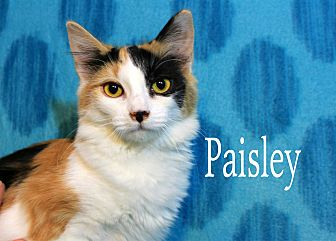 Calico Cat for adoption in Wichita Falls, Texas - Paisley