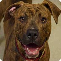 Adopt A Pet :: DENZEL - Atlanta, GA